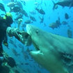 Shark feeding at Pacific Harbour, Viti Levu, Fiji