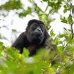 A howler monkey sitting in the forest, Costa Rica
