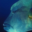Napoleon wrasse are common at Bunaken