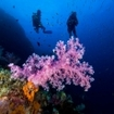 Scuba divers swim past a purple soft coral at Hin Muang