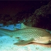 A leopard shark resting on the sea floor in the Great Barrier Reef