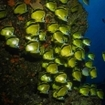 A school of butterflyfish, Cabo Pearce