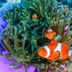 Clownfish protected by an anemone