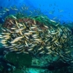 Twinspot snapper school surround a bommie