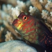 Cloe up of a blenny, Koro Sea