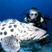 A curious grouper with diver