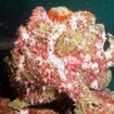 An elusive frogfish, in Taveuni