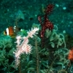 2 colour variations of harlequin ghostpipefish in Tulamben, Bali