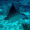 Spotted eagle ray at Wrasse Strip, Layang Layang