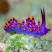 Colourful nudibranch on the Coral Coast