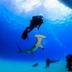 Divers encounter a great hammerhead shark, Bimini
