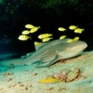 Stegostoma fasciatum with golden trevally, Maldives