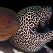 Two large moray eels in the Southern Atolls
