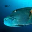 A Napoleon wrasse at the Surin Islands, Thailand