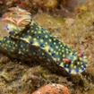 Nudibranchs are common in Indonesia, including Alor