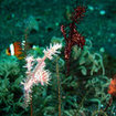 2 colour variations of harlequin ghostpipefish - Tulamben, Bali