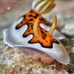 A nudibranch in the Southern Atolls