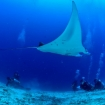 Palau diving with mantas