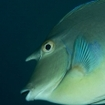 A unicornfish in the Northern Atolls