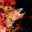 Yellow-mouthed moray eel in Egypt