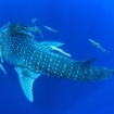 Whale sharks are sometime visitors to Koh Tachai, Thailand