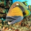 This titan triggerfish swims over a coral reef