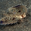 A fingered dragonet scuttle across the sea floor