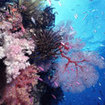 The magnificent soft corals of Taveuni Island in Fiji