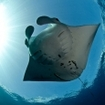 A manta ray at German Channel in Palau