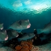 Dive with Bumphead parrotfish in Sipadan Island, Malaysia