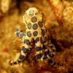 Blue-ringed octopus - Komodo, Indonesia
