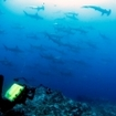 Thrilling moments with schools of hammerhead sharks at Cocos Island