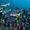 Schools of reef fish at the Galapagos Islands