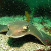 A cownose ray (Rhinoptera bonasus) in Punta Carrion