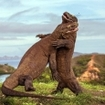 A rare photo of Komodo dragons fighting at Rinca Island, Indonesia