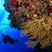 A scuba diver descends down a wall in Beqa Lagoon