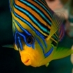 A regal angelfish in Ras Mohammed