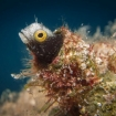 A blenny at home in the reef