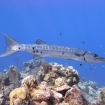 Great barracuda stalks on the reef