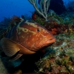 Nassau grouper on the barrier reef