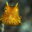 A close up of a cowfish, Koh Talu