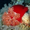 A Spanish dancer at St. John's, southern Red Sea