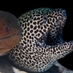 A giant and honeycomb moray eel, Maldives