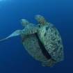 You might spot mating turtles when scuba diving Blue Corner.