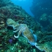 Cuttlefish feeding at Thailand's Koh Rok