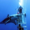 Cage divers with a great white shark