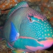 A spectacularly colourful parrotfish