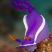 Scour the pinnacles in the Maldives for colourful nudibranchs