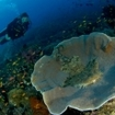 A scuba diver and wobbegong in Raja Ampat