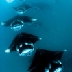Diving with manta rays in Maldives